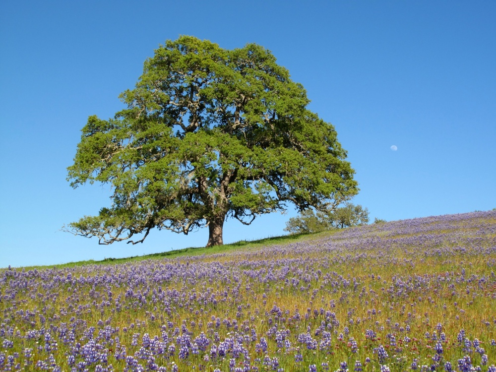 Oak_tree_with_moon_and_wildflowers.jpg